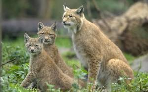 428800-wild-lynx-cat